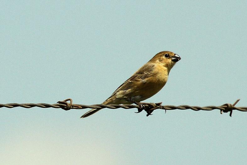 Um pássaro do tipo Coleiro repousa em um arame farpado.