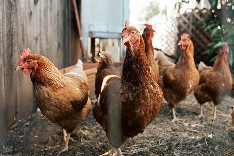 Quatro galinhas de cor marrom em um galinheiro.